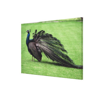 Peacock in field canvas print