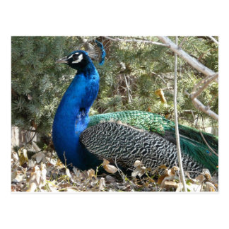 peacock in shrubs postcard