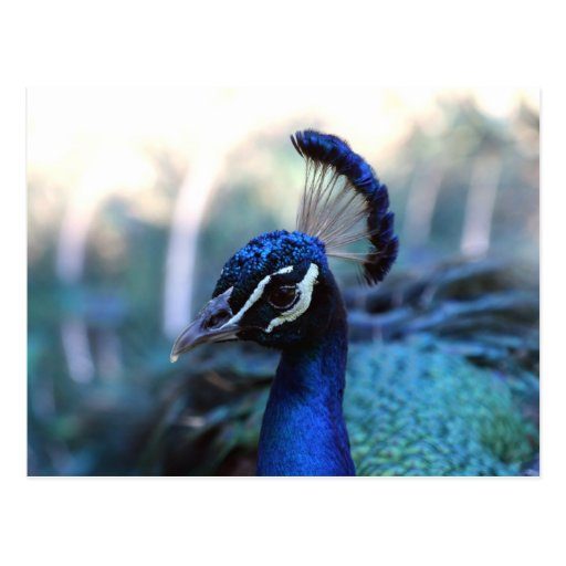 Peacock Male Headshot turned to the left Postcard