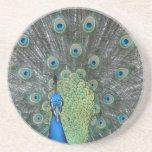 Peacock male in full fan photograph