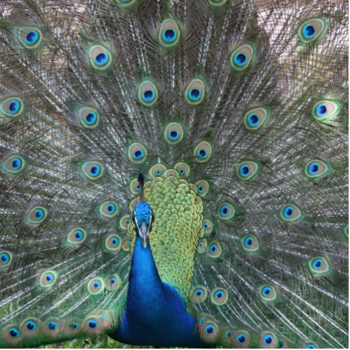 Peacock male in full fan photograph photo sculpture badge