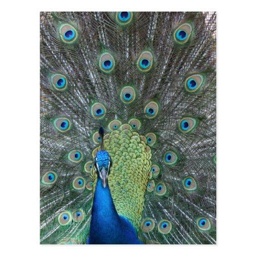 Peacock male in full fan photograph postcard