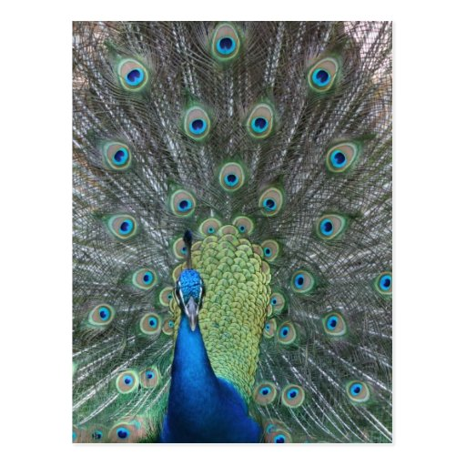 Peacock male in full fan photograph post cards