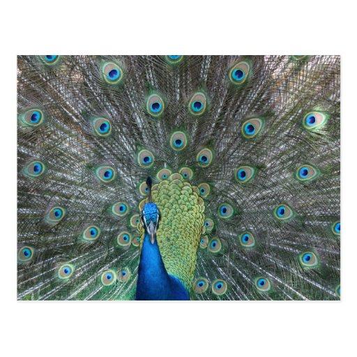 Peacock male in full fan photograph post card