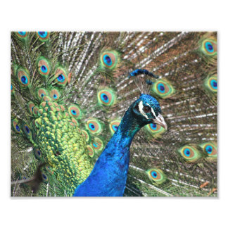 Peacock of Many Colors Photograph