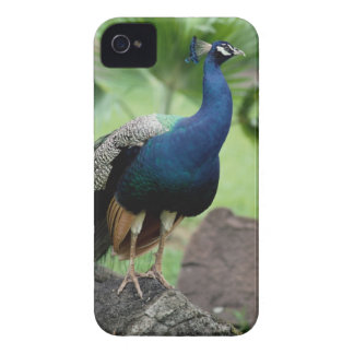 Peacock perched on rock iPhone 4 cover