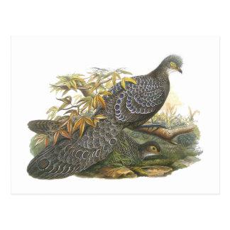 Peacock Pheasant Postcard