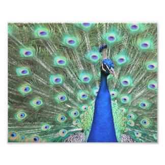 Peacock photography photo print