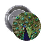 Peacock Pinback Buttons