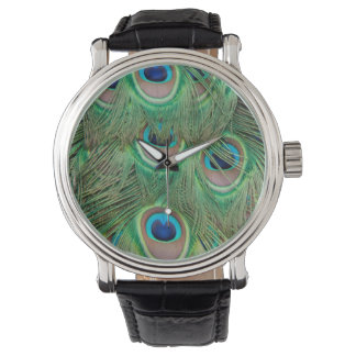 Peacock plumage watch