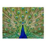 Peacock Postcard