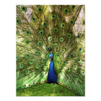 Peacock Print Photo Print