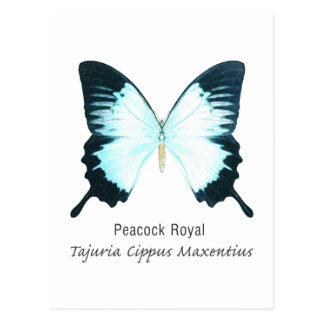Peacock Royal Butterfly with Name Postcard