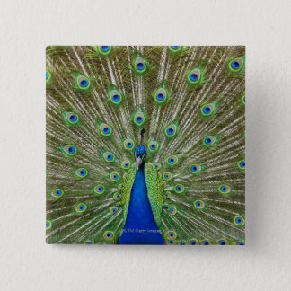 Peacock showing its feathers 15 cm square badge