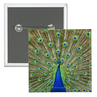 Peacock showing its feathers, as part of a 15 cm square badge
