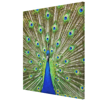 Peacock showing its feathers, as part of a canvas print