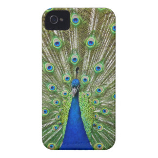 Peacock showing its feathers, as part of a iPhone 4 Case-Mate case