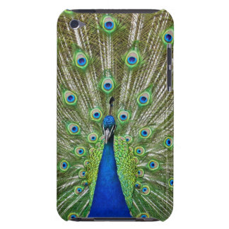 Peacock showing its feathers iPod touch cover