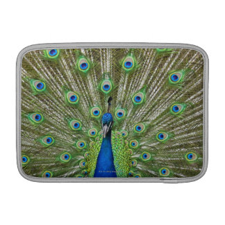 Peacock showing its feathers sleeve for MacBook air