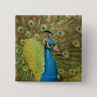 Peacock strutting 15 cm square badge