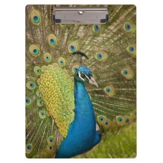 Peacock strutting clipboards