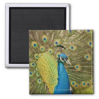 Peacock strutting magnet