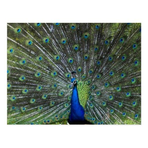 Peacock Strutting Postcards