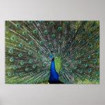 Peacock Strutting Print