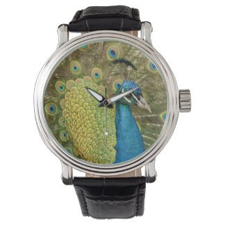 Peacock strutting watch