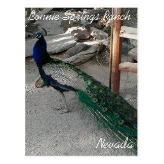 Peacocks at Bonnie Springs Nevada - Postcard