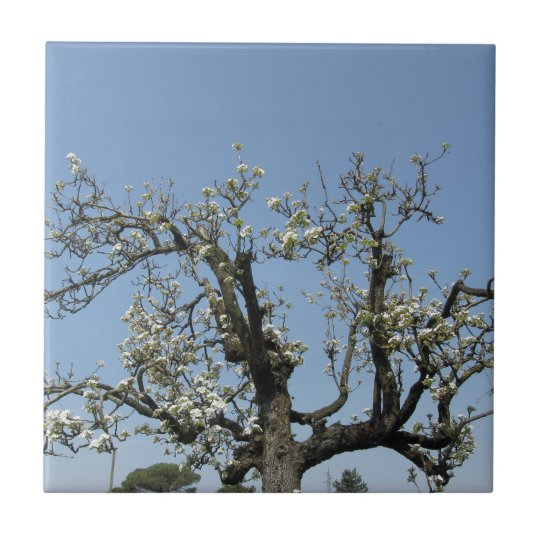 Pear tree with blossoms against the blue sky small square tile