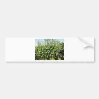Pears on tree branches bumper sticker