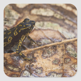 Pebas Stubfoot Toad Atelopus spumarius) Square Sticker
