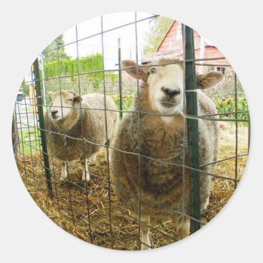 Peek a Boo Sheep Sticker