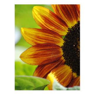 Peek A Boo Sunflower Postcard