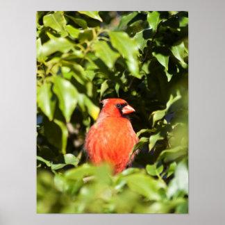 Peeking Cardinal Posters