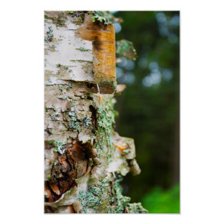 Peeling Birch Tree, Maine Poster