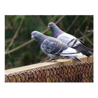 Peering Pigeons Postcard