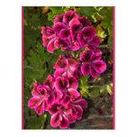 Pelargonium Postcards