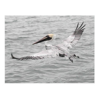 Pelican In Flight Postcard