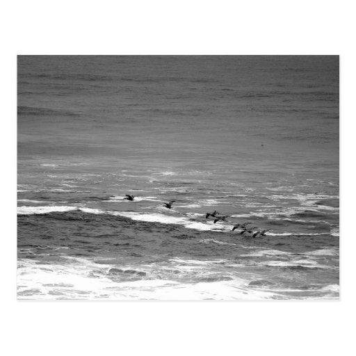 Pelicans Gliding Over Waves in Monochrome Postcard