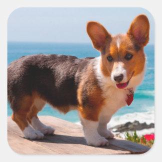 Pembroke Welsh Corgi puppy standing on table Square Sticker