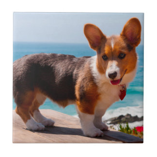 Pembroke Welsh Corgi puppy standing on table Tile