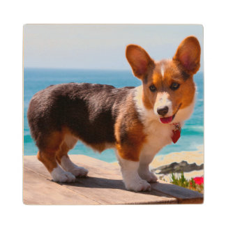 Pembroke Welsh Corgi puppy standing on table Wood Coaster
