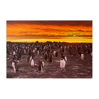 Penguin colony at sunset, Falkland Acrylic Print