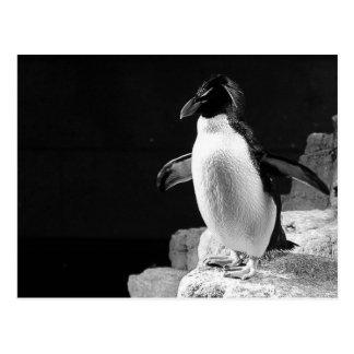 Penguin In the Spotlight Black and White Photo Postcard