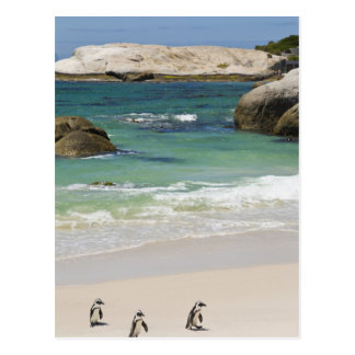 Penguins at Boulders Beach, Simons Town, South 2 Postcard
