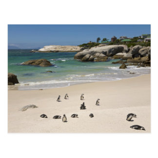 Penguins at Boulders Beach, Simons Town, South Postcard