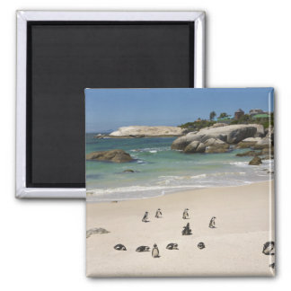 Penguins at Boulders Beach, Simons Town, South Square Magnet