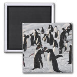 Penguins at Play Square Magnet